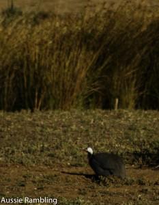 Guinea Fowl, Murray Bridge, SA