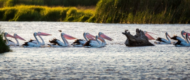 Pelicans and the Murray Bridge Wetlands