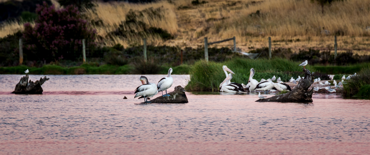Pelicans at the Murray Bridge Wetlands